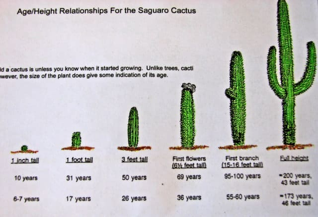 Cactus Growth Chart